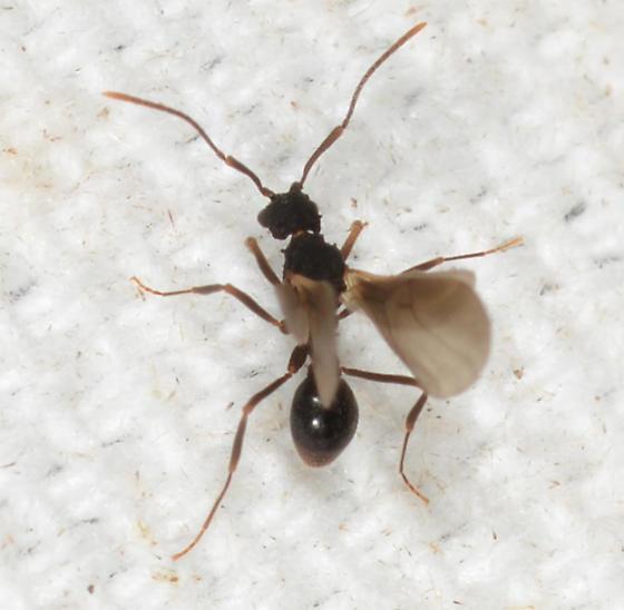 winged ant? - Cyphomyrmex rimosus