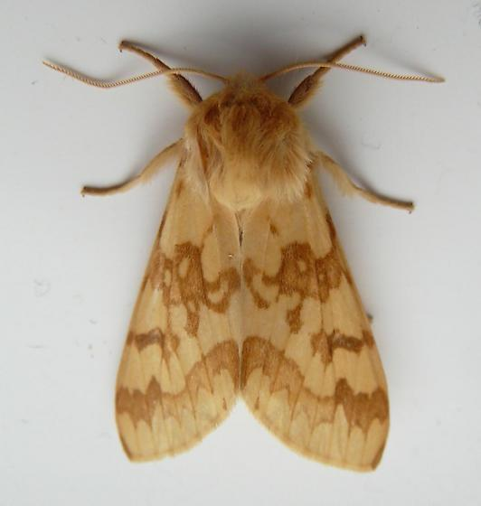 Spotted Tussock Moth Adult - Lophocampa maculata