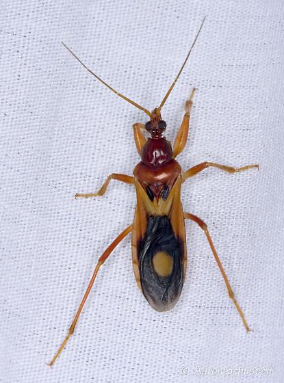 Rufous reduviid - Rasahus thoracicus