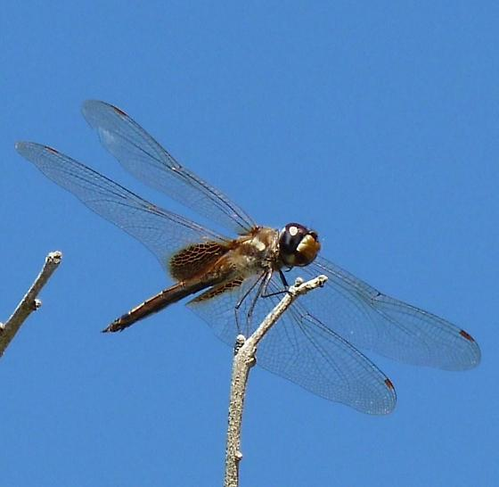 Dragonfly - Tramea calverti