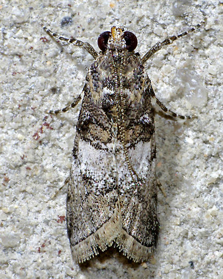 Pococera asperatella - Pococera