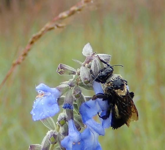 Bumble Bee - Bombus fraternus