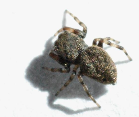 Black jumping spider  - Zygoballus nervosus