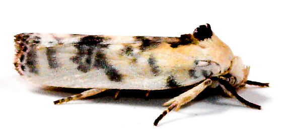 Bird dropping moth - Antaeotricha