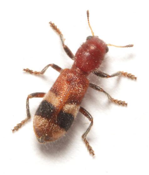 Cleridae, dorsal - Enoclerus rosmarus