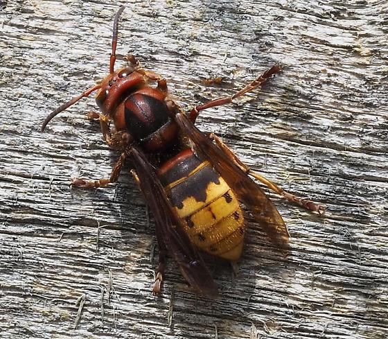 ID request for wasp - Vespa crabro
