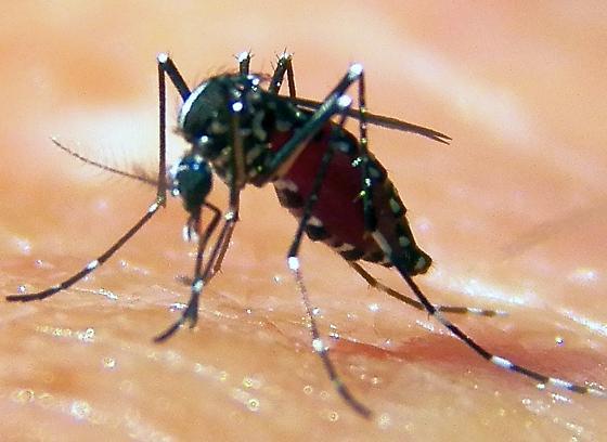 Mosquito ID - Aedes albopictus