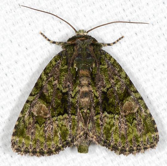 Phosphila miselioides - Spotted Phosphila - Phosphila miselioides
