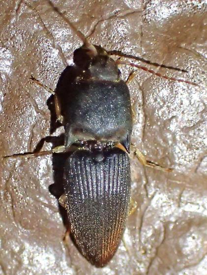 Robust black elaterid - Heteroderes amplicollis