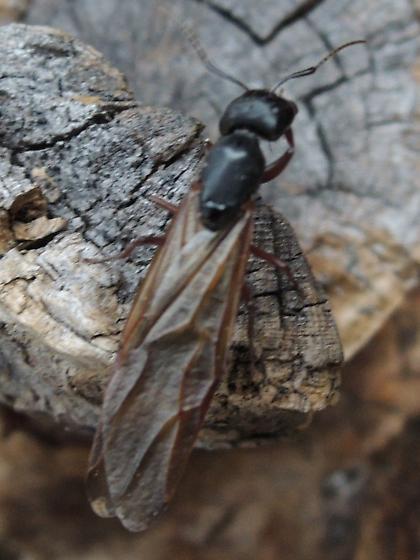 Sierra Dampwood Termite, Zooermopsis nevadensis ?? - Camponotus