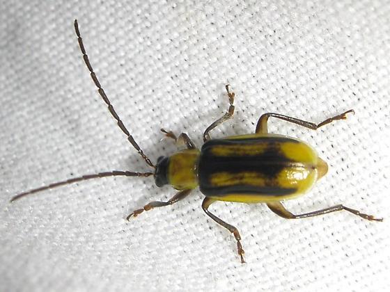 Leaf beetle - Diabrotica virgifera