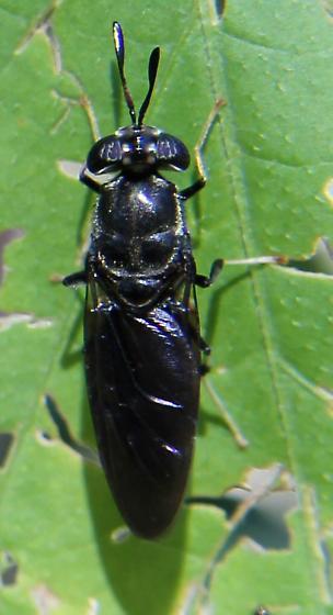 black wasp/fly - Hermetia illucens