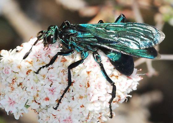 Dark wasp on buckwheat - Pepsis mexicana - female