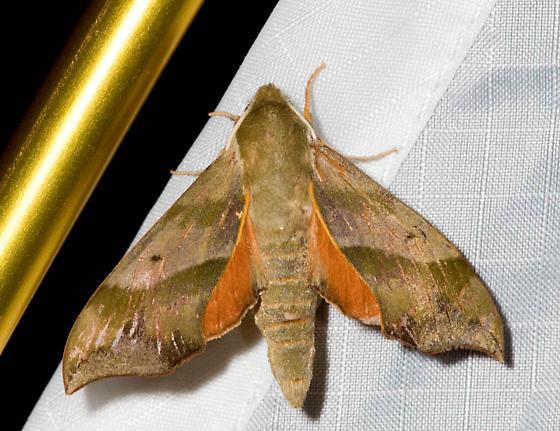 Moth from the gathering - Darapsa myron
