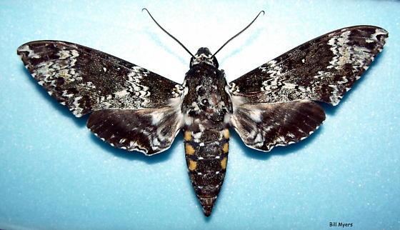 Missouri Rustic Sphinx Moth - Manduca rustica