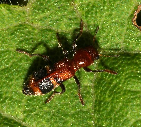 unidentified Coleoptera - Enoclerus rosmarus