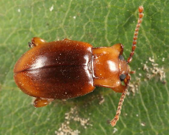 Handsome Fungus Beetle - Lycoperdina ferruginea