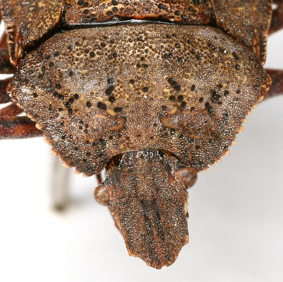 Brochymena dilata Ruckes - Brochymena dilata