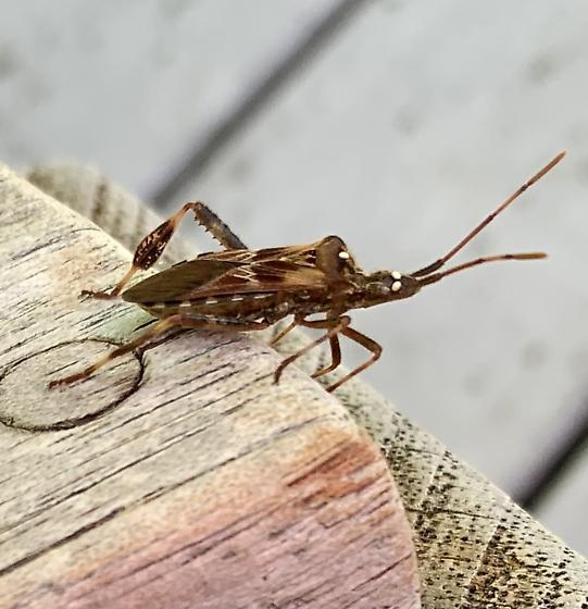 Backyard bug - Leptoglossus occidentalis