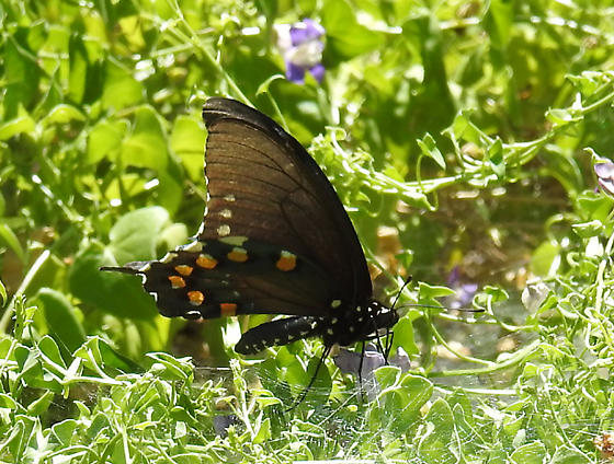 Black Swallowtail ? - Battus philenor
