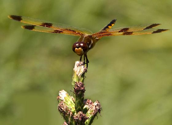 Brown/Orange Dragonfly - Libellula semifasciata