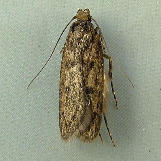 2129 Hofmannophila pseudospretella - Brown House Moth 1064 - Hofmannophila pseudospretella