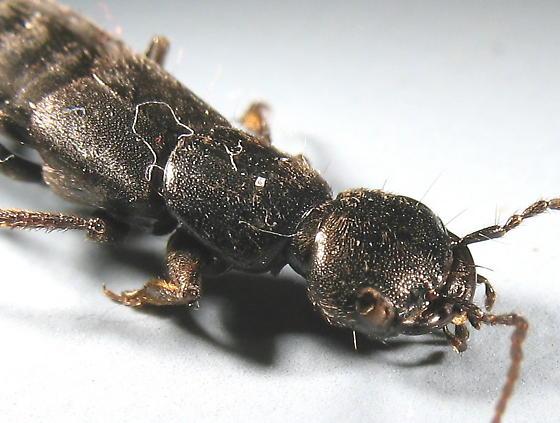 large black rove - Tasgius