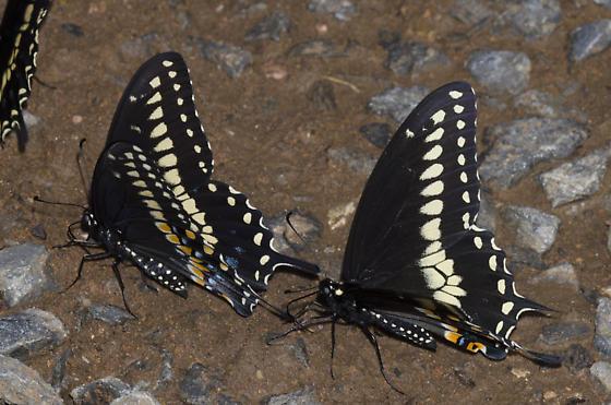 Black Swallowtails - Papilio polyxenes - male