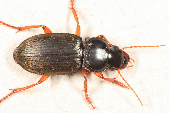 Ground Beetle - Harpalus rufipes