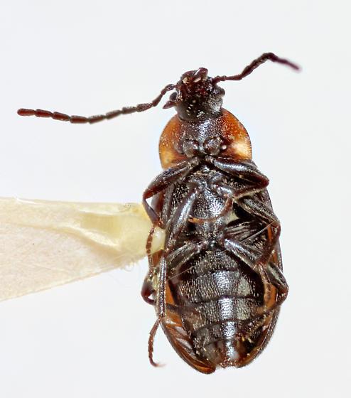 Alleculinae - Isomira