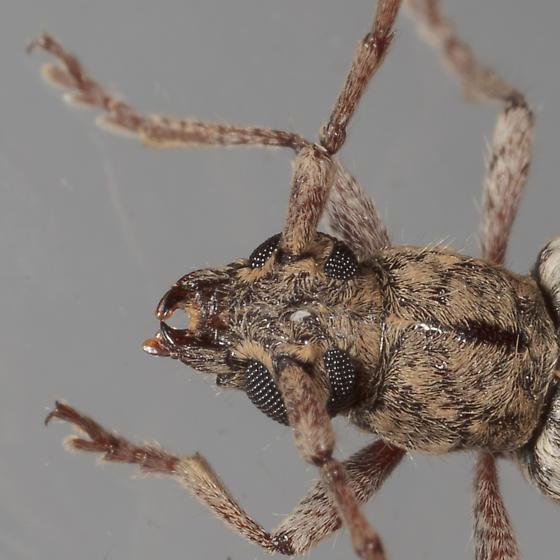Anelaphus sp. - Anelaphus debilis