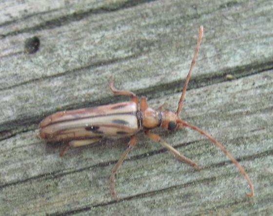 Bug on log - Ortholeptura valida