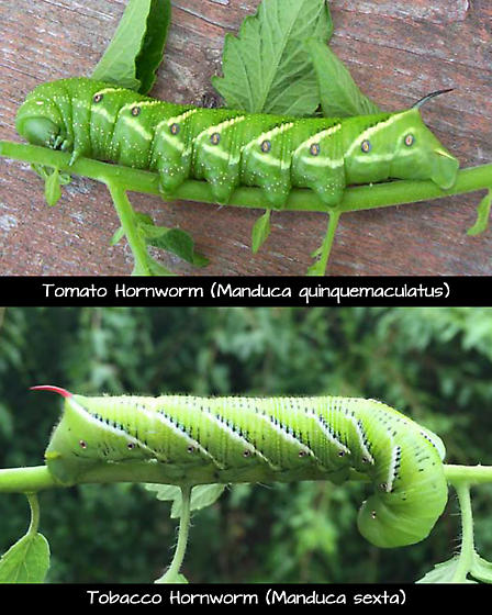 Difference between Tobacco & Tomato Hornworms - Manduca