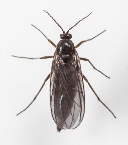 Gnat - female