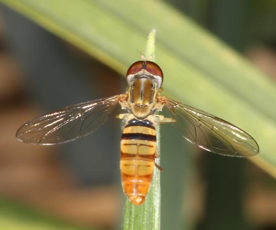 Syrphid fly - unknown genus  - Toxomerus politus - male