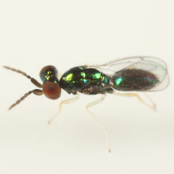 Eulophid ex Cameraria ulmella - Chrysocharis occidentalis - male