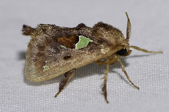 Euclea delphinii - Spiny Oak-Slug Moth - Euclea delphinii