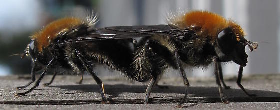 Brachypalpus (subg Crioprora) alopex? - Brachypalpus alopex - male - female