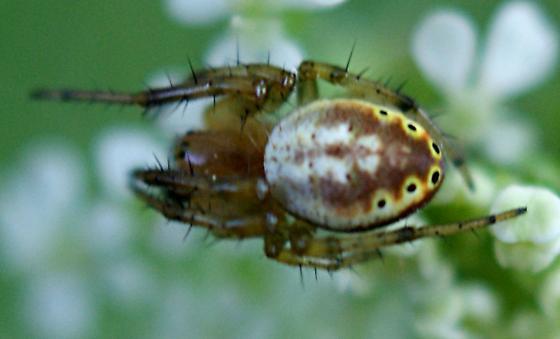 spider in woods - Araniella displicata