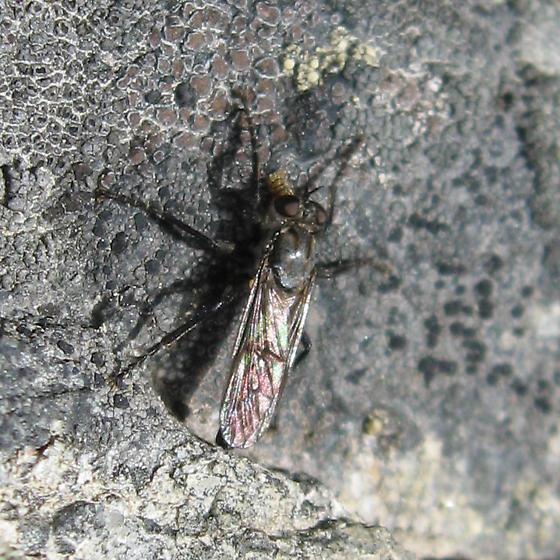 Asilidae 6-24-10 01b - Lasiopogon monticola