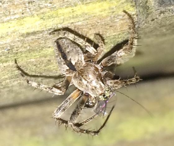 Orbweaver - Eustala anastera