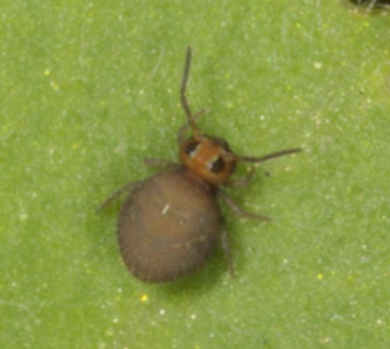 Symphypleona - Bourletiella hortensis