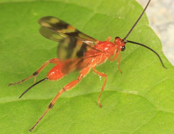 Braconid - Cremnops desertor - female