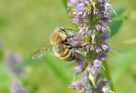 Bumble Bee in Eastern Upstate New York - Bombus perplexus