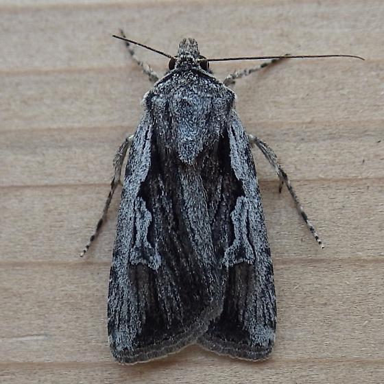Noctuidae: Euxoa subandera - Euxoa subandera