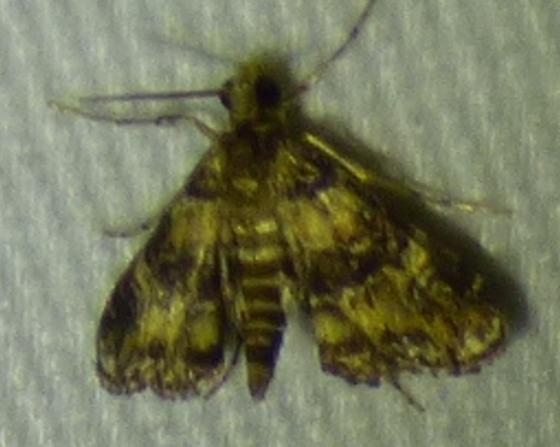 Elophila obliteralis - Waterlily Leafcutter - Elophila obliteralis