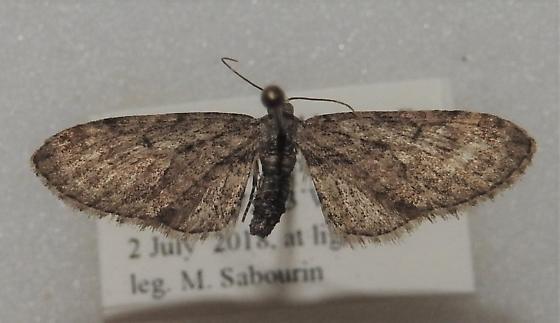 Eupithecia sheppardata - Hodges#7494 - Eupithecia sheppardata - female