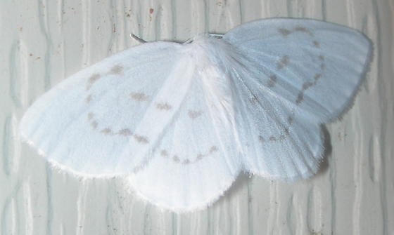 Northern Eudeilinia - Eudeilinia herminiata