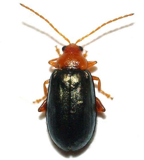 Alticid on Whiteleaf Oak - Hemiphrynus intermedius