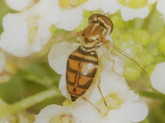 Syrphidae? 5c - Toxomerus marginatus